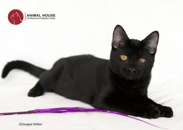 Willa, an adoptable Domestic Short Hair in St. Louis, MO