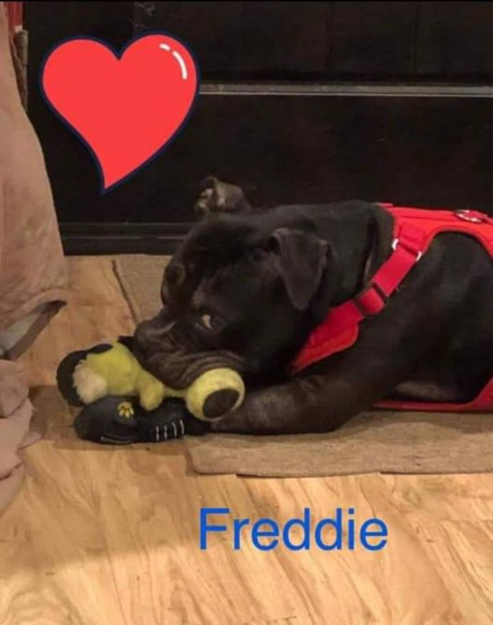 Dog for adoption - Freddie - pocket bully, an American