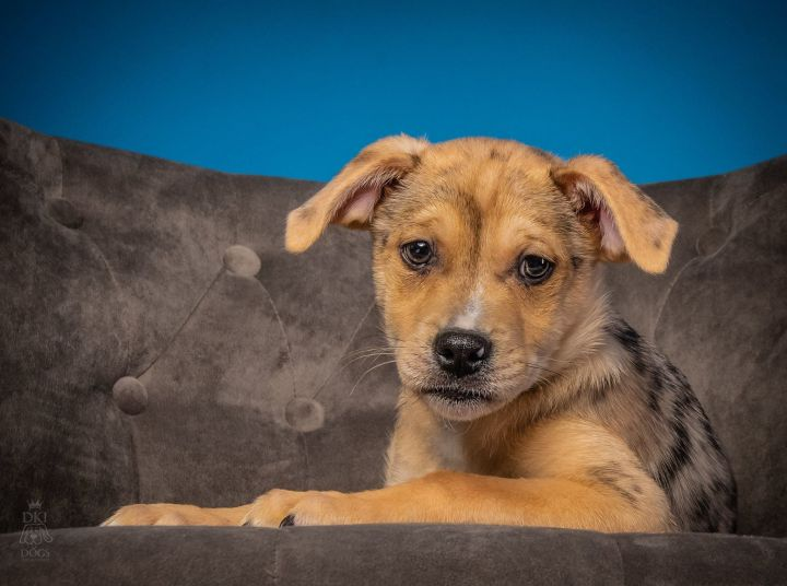 Storm, an adopted Australian Shepherd & Pug Mix in Denver, CO