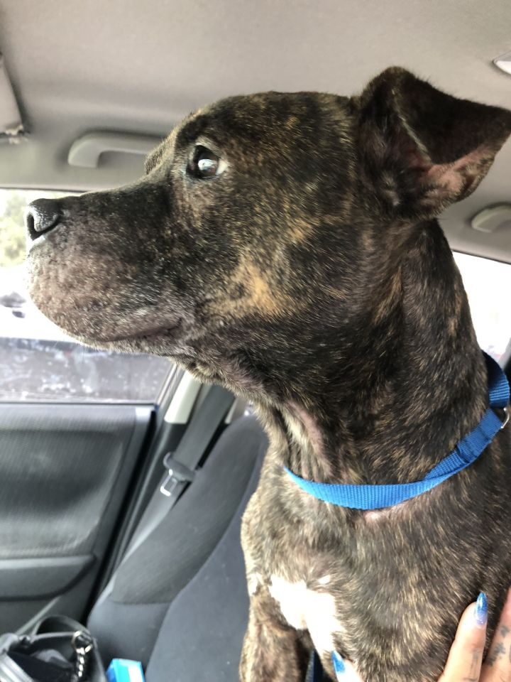 Rocky, an adopted Pit Bull Terrier Mix in Orlando, FL