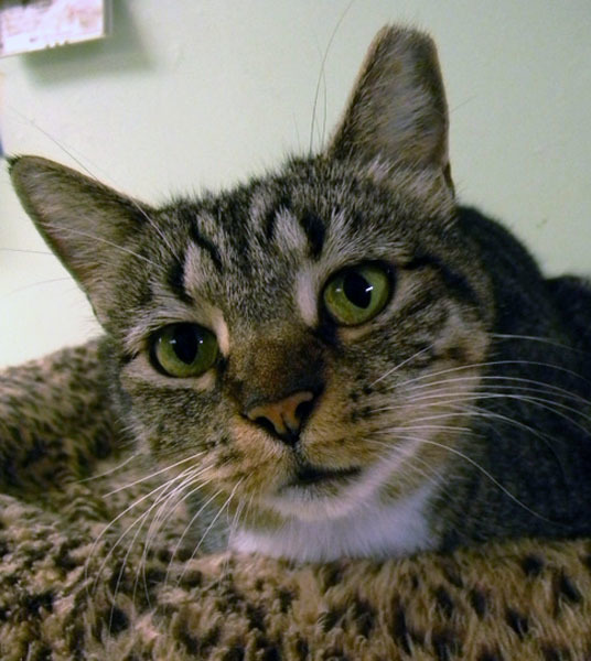 Sheba, an adopted Domestic Short Hair in Fernandina Beach, FL