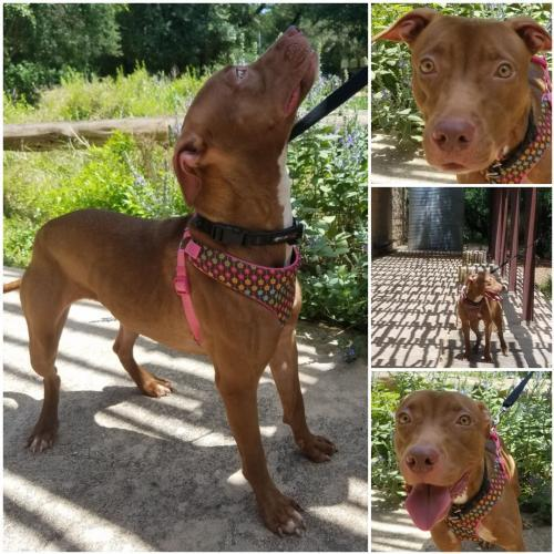 Shimma, an adoptable American Staffordshire Terrier in San Antonio, TX
