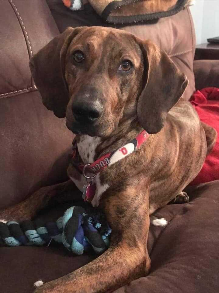 Desi, an adoptable Plott Hound Mix in New Albany, OH
