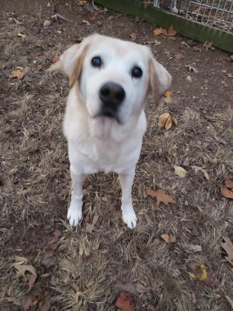 Dog For Adoption Rubin A Labrador Retriever Golden Retriever