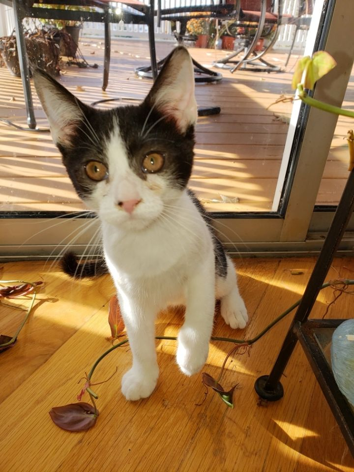 Louise, an adopted Domestic Short Hair in Ardsley, NY