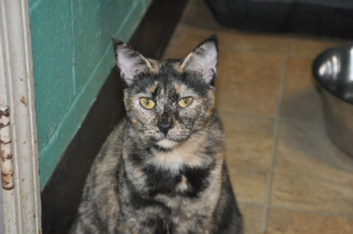 Layla, an adopted Tortoiseshell Mix in Milledgeville, GA