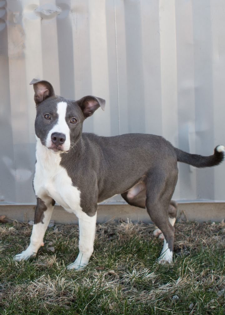 Santana, an adopted Pit Bull Terrier Mix in Cape Girardeau, MO