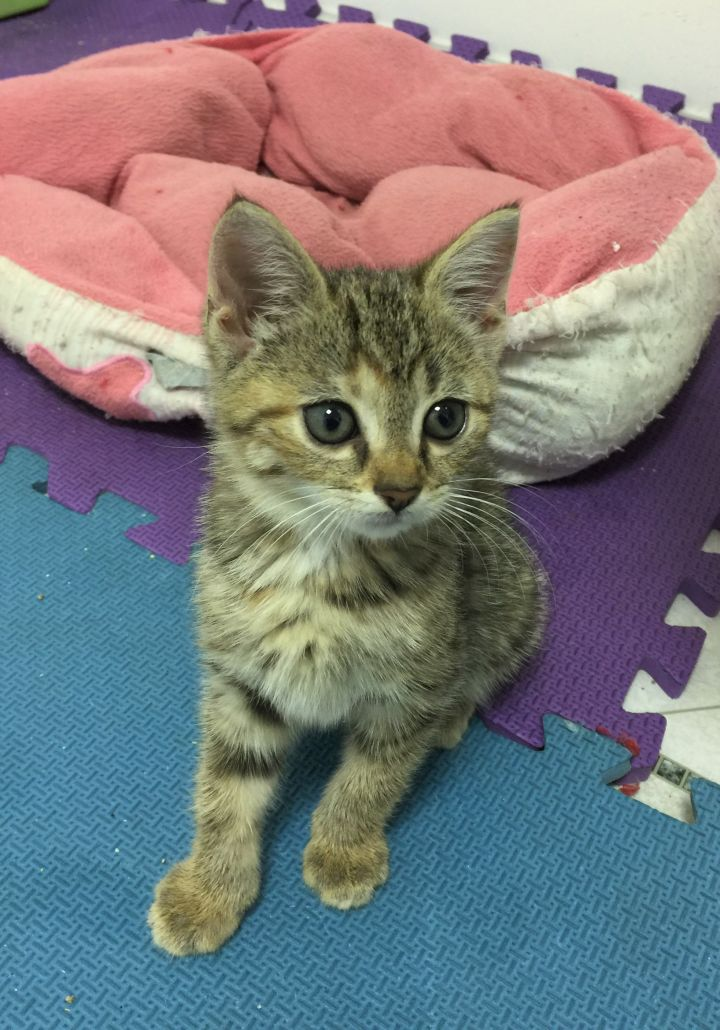 Harriet, an adopted Domestic Short Hair in Boiling Springs, PA