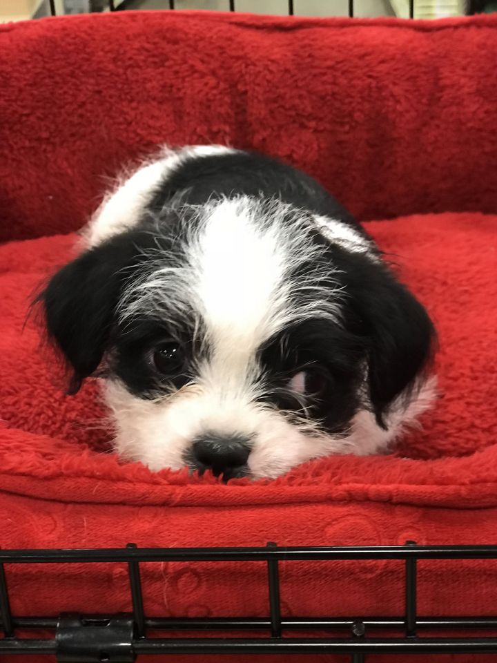 Dog for adoption - Beulah, a Shih Tzu Mix in San Antonio, TX