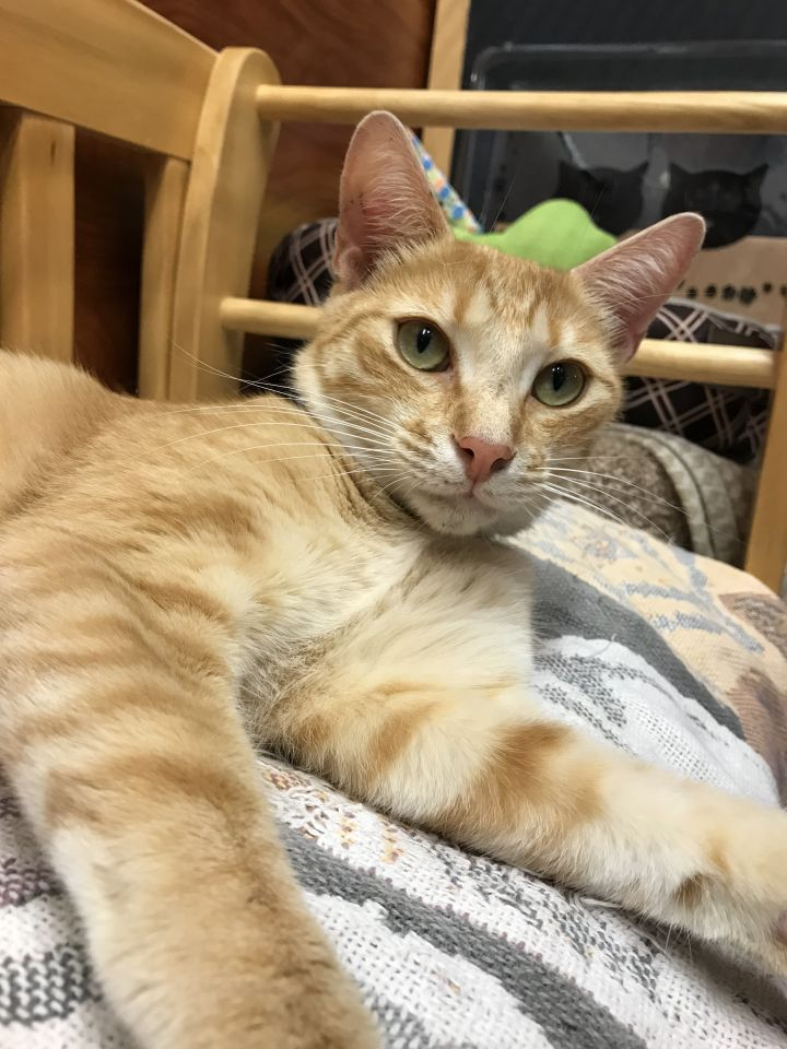 Joe Orange, an adoptable Domestic Short Hair in Oakland Park, FL