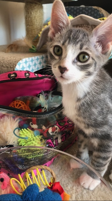 Isaiah, an adopted Domestic Short Hair in Boiling Springs, PA