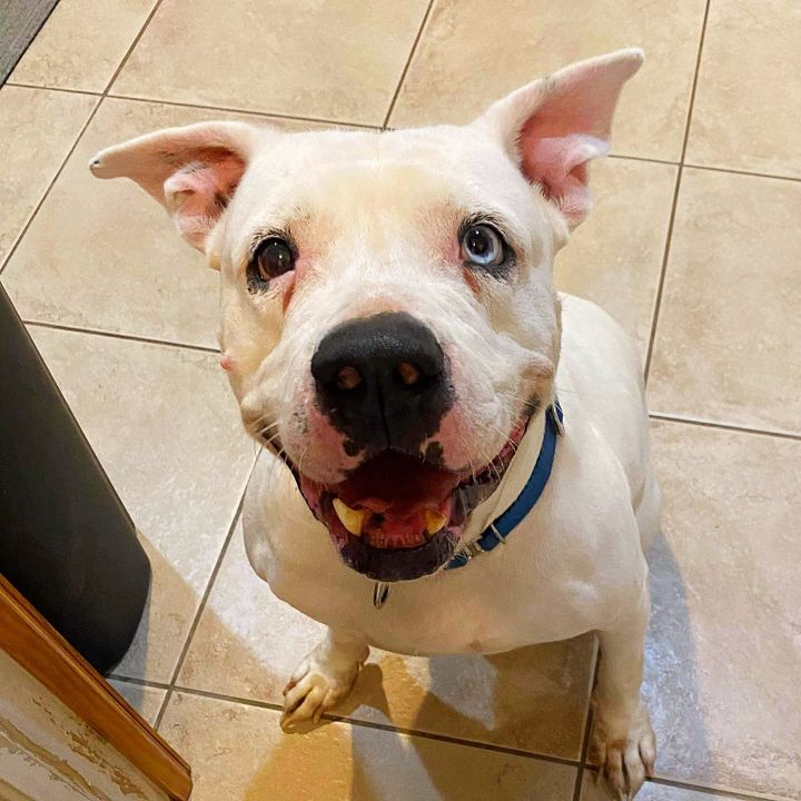 Rock, an adoptable American Bulldog Mix in LEHIGH ACRES, FL