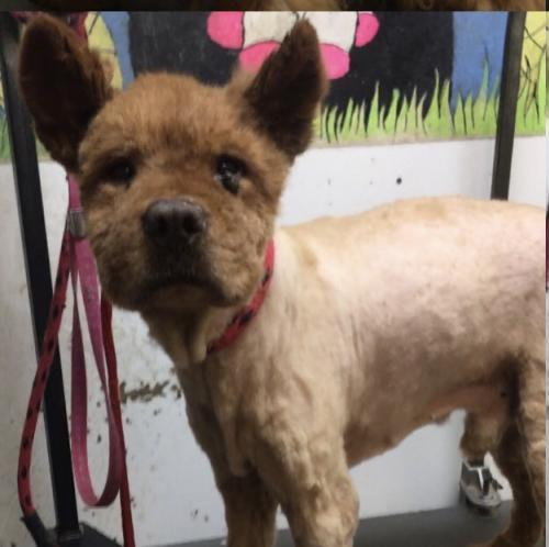Dog For Adoption Buddy A Chow Chow In Stroudsburg Pa Petfinder