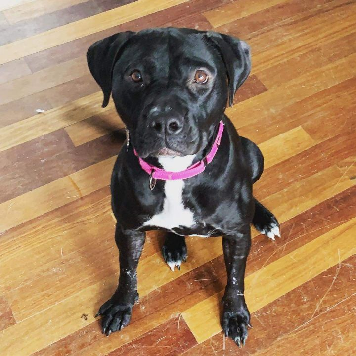 Harper - no longer accepting applications, an adopted Black Labrador Retriever Mix in Manchester, NH