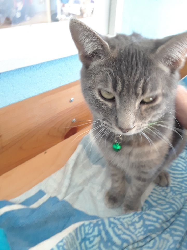 Tori, an adopted Domestic Short Hair in Medford, NY