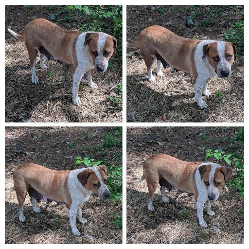 Dog For Adoption Jolie An American Bulldog Australian