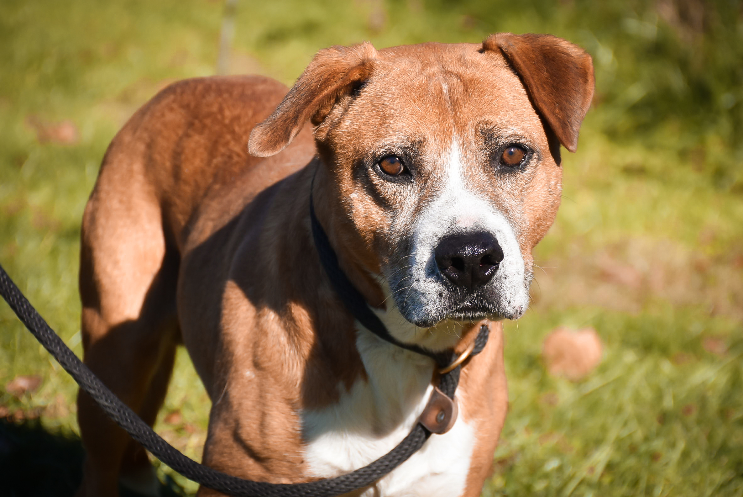 Dog For Adoption Comet Shy Boy Loves To Walk Near Crossville