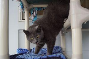 Vanellope Domestic Short Hair Cat