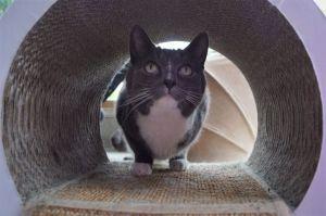 Shana Domestic Short Hair Cat