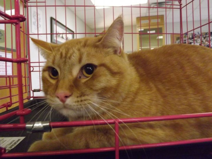 Otis, an adopted Domestic Short Hair in Hays, KS