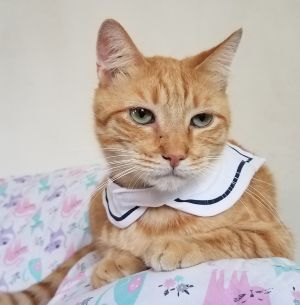Meet Jontae Jontae is a handsome American Shorthair Mix He was born about 11152015 He was diagn