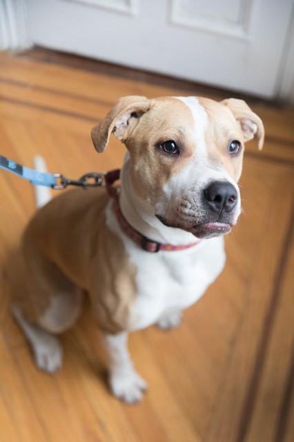 Lily, an adopted Pit Bull Terrier Mix in Hazlet, NJ