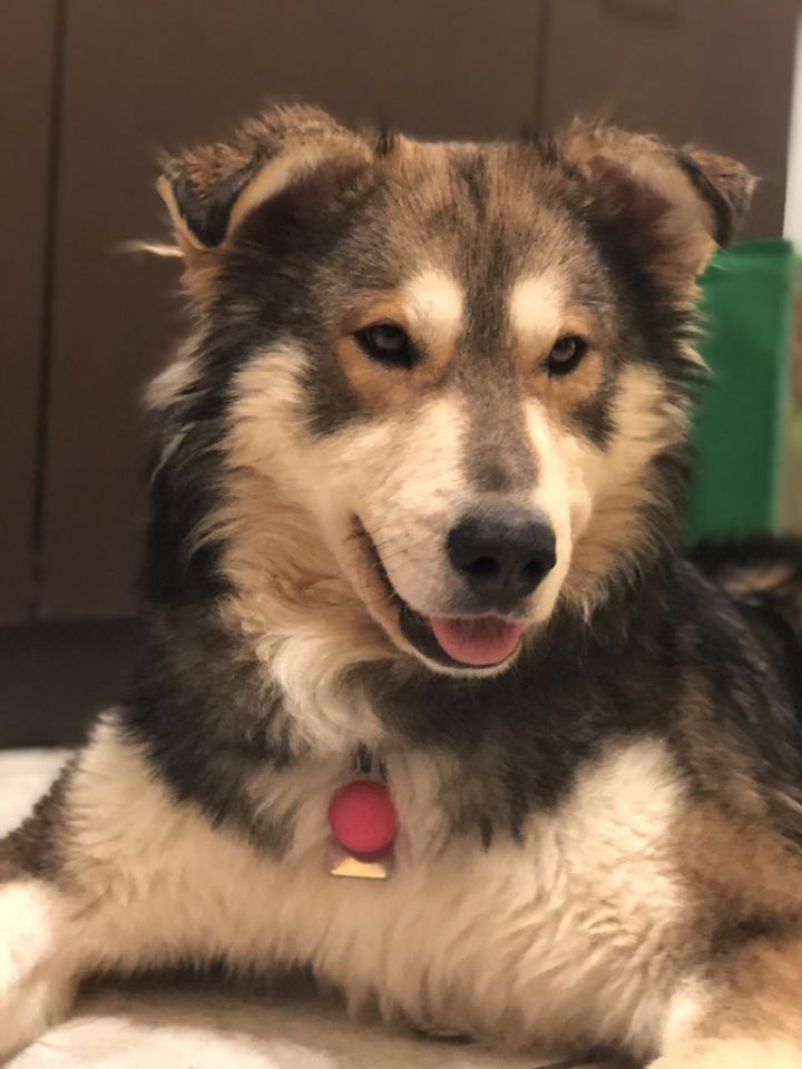 Balto, an adopted Husky & Shepherd Mix in Winnipeg, MB