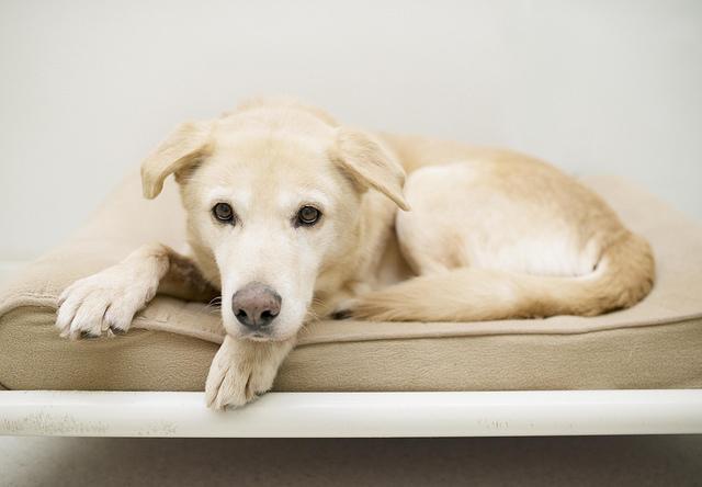 Dog for adoption - Cider, a Golden Retriever & Yellow