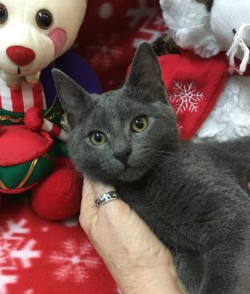Cat For Adoption St Nick Near Picayune Ms Petfinder