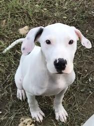 Dog for adoption - Ice, an American Bulldog Mix in Lago Vista, TX
