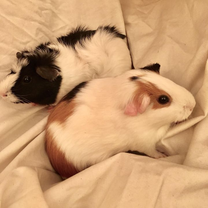 Wanda and Betty, an adoptable Guinea Pig in Brooklyn, NY