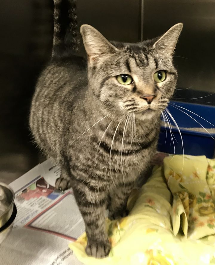 Twizzler, an adoptable Domestic Short Hair in Kittanning, PA