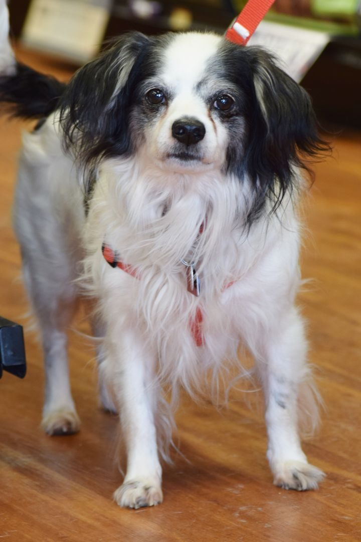 Top Dog for adoption - Domino, a Cavalier King Charles Spaniel Mix in &UG_65