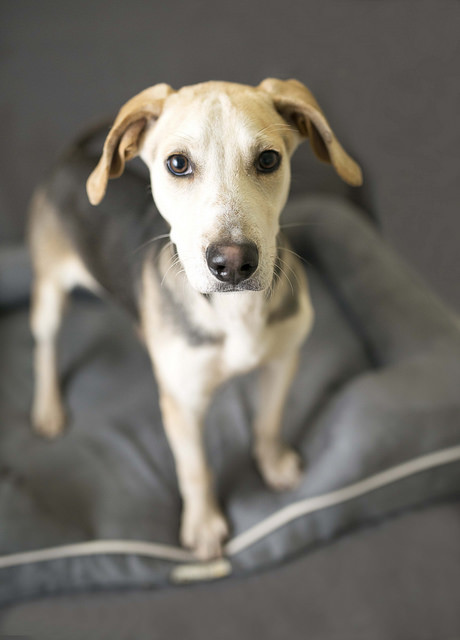 Augustus, an adopted Beagle Mix in Cincinnati, OH