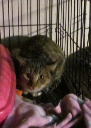 Cat for adoption - Hannah, a Tabby in Phoenix, AZ   Petfinder