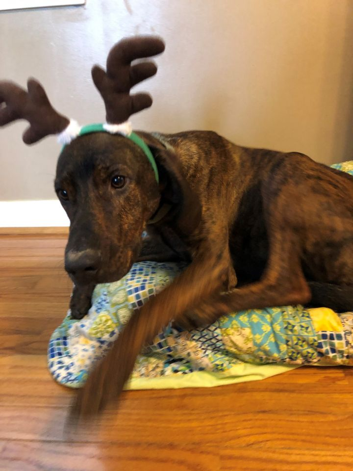 Dexter, an adopted Plott Hound in Conover, NC