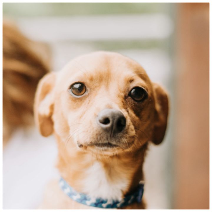 Roscoe, an adopted Chihuahua & Dachshund Mix in Kingwood, TX
