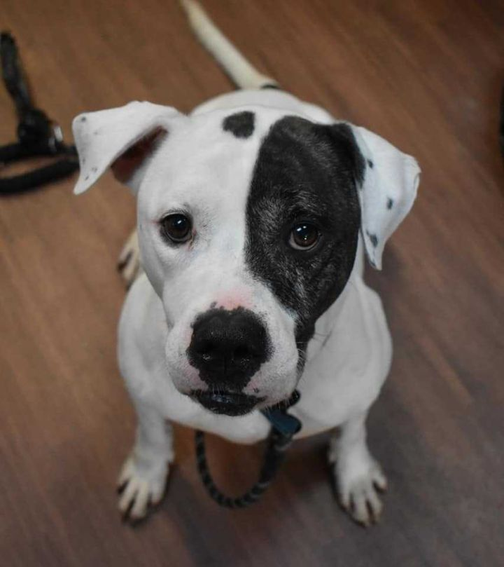 Nicky, an adoptable American Bulldog Mix in Dallas, PA