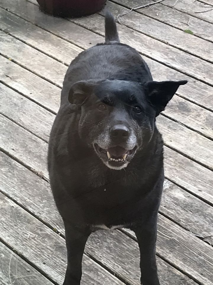 Hudson, an adoptable Black Labrador Retriever in Waverly, IA