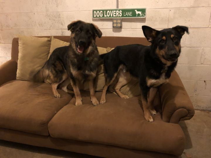 Berkley and Dabney, an adopted German Shepherd Dog Mix in Conover, NC
