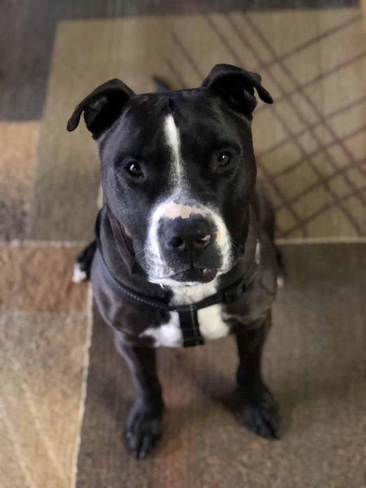Rambo, an adopted Pit Bull Terrier & Boxer Mix in Somers, CT