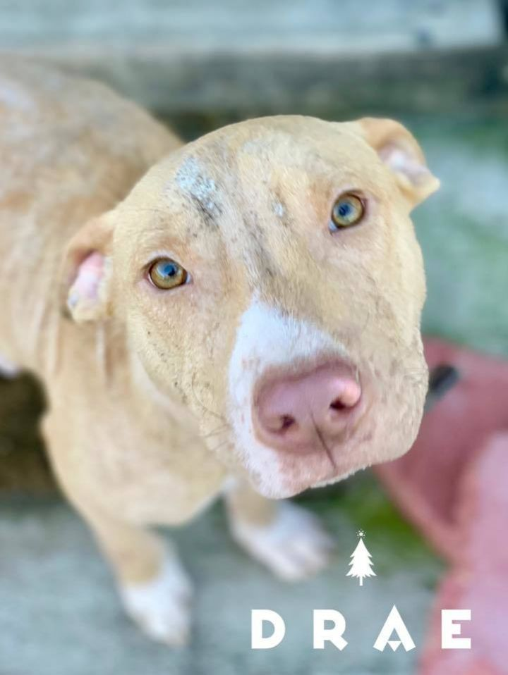 Drae, an adopted Pit Bull Terrier in Cypress, TX