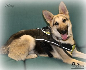 Dog For Adoption Remy A German Shepherd Dog In North Wales Pa