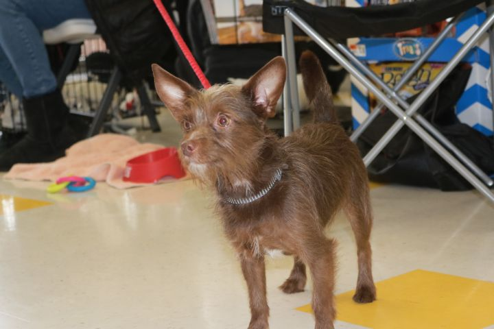 Gizmo, an adopted Terrier Mix in Souderton, PA