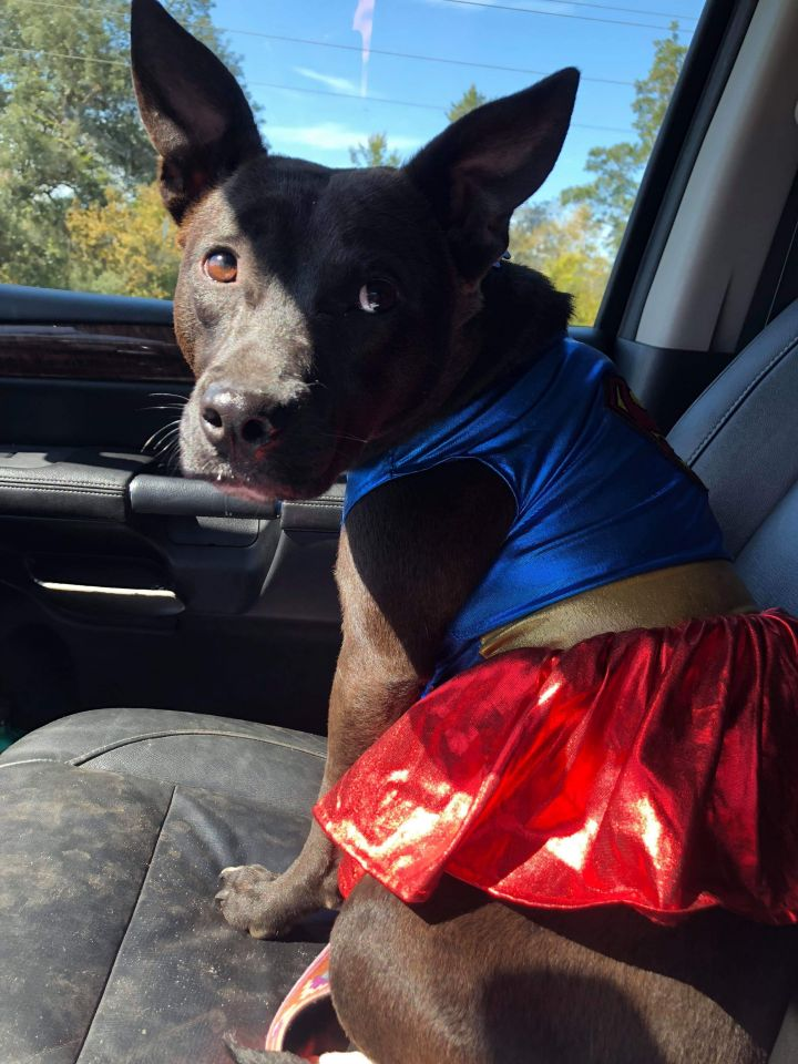 Indigo, an adopted Pit Bull Terrier Mix in Mary Esther, FL