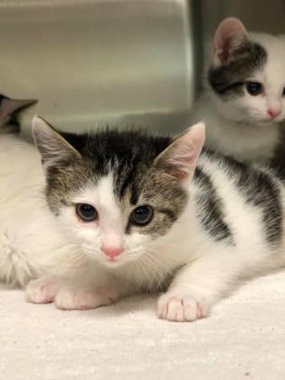 b6dfa24811 Cat for adoption - Pocoyo