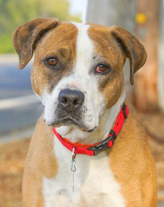 COWBOY LOU, an adoptable Catahoula Leopard Dog & American Staffordshire Terrier Mix in Point Richmond, CA