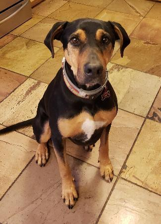 TITAN, an adoptable Rottweiler & Doberman Pinscher Mix in Point Richmond, CA