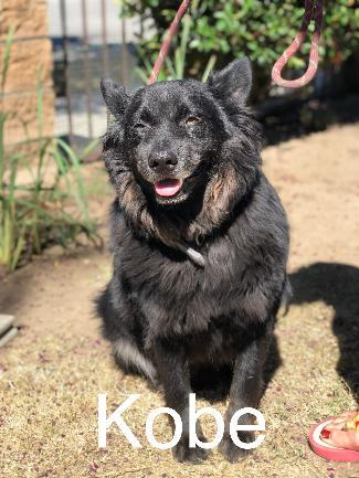 KOBE, an adoptable Belgian Shepherd / Tervuren Mix in Point Richmond, CA