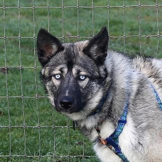 SINATRA, an adoptable Siberian Husky Mix in Point Richmond, CA